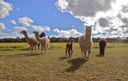 Alpaca Fleece for sale per bag
