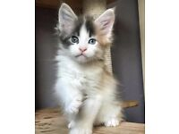 RARE BLUE TORTIE MAINE COON GIRL
