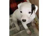 Kennel Club Registered Whippet Pup