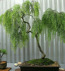 Pleureur arbre th rare hardy id al int rieur ou for Arbre bonsai exterieur