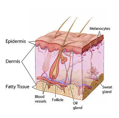 The Skin Dermatology Anatomy Poster Anatomical Chart Company