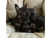 Blue sable chihuahua puppy's