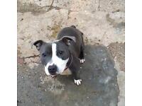Blue female puppy Staffie