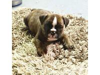 Beautiful bulldog puppy
