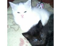 Gorgeous Turkish Angora x kittens