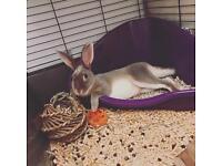 Spayed female bunny