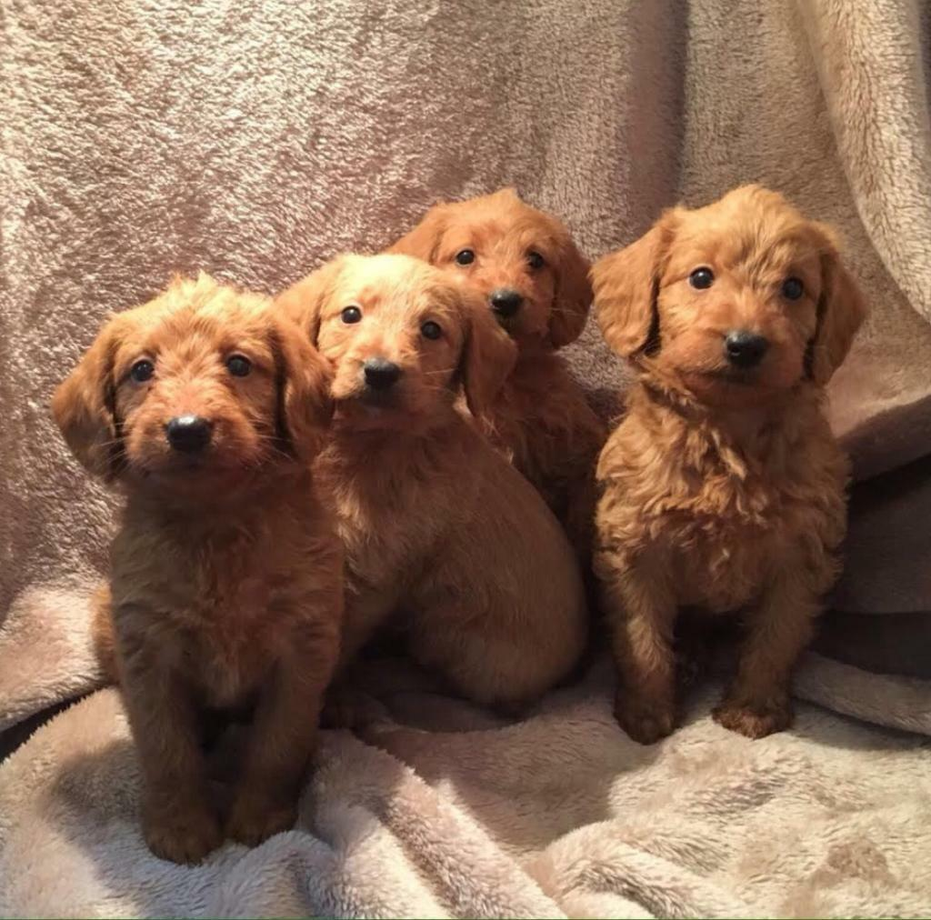Labradoodle Miniature Puppies Goldenacresdogscom