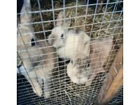 Mini Rex Rabbits For Sale