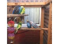 7 aviary budgies