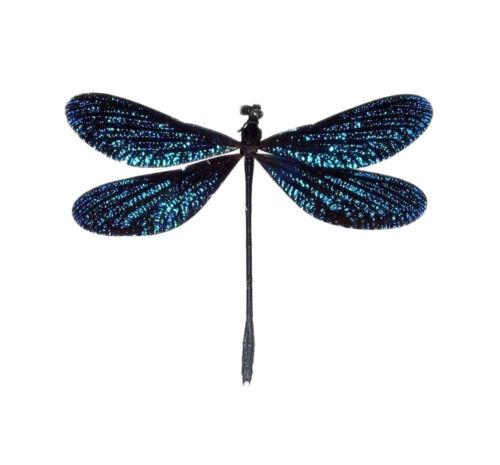 Vestalis melania blue dragonfly damselfly Philippines unmounted wings closed