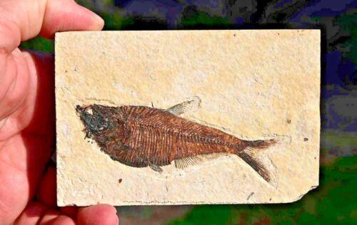 Fossil Fish, Diplomystus dentatus 3.88 inches, GRF, Kemmerer, Wyoming, U.S.A.
