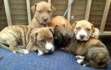 Mastiff x American Staffy Puppies Albany 6330 Albany Area Preview