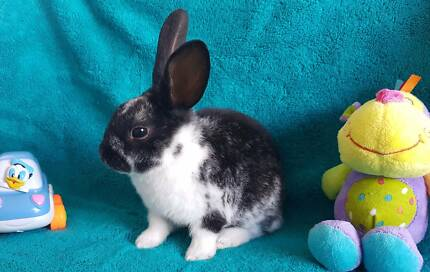 Gorgeous Mini Rex---Babies