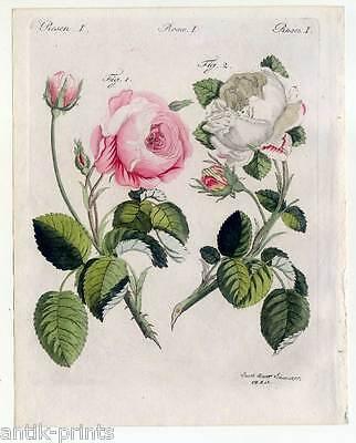 Rosen-Blumen-Pflanzen - Bertuch - Kupferstich 1810 Rose