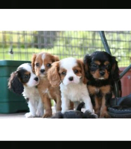 WANTED: King Charles Cavalier Bassendean Bassendean Area Preview