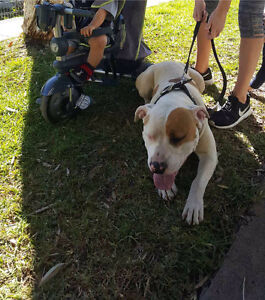 URGENT SALE!!17 month old American Staffy Carramar Fairfield Area Preview