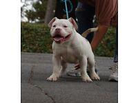 Pocket Bully Papi Chulo Pups