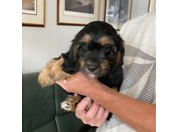 CAVAPOO MALE PUPPY READY NOW