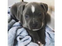 Blue Staff pup.