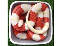 Milk snake for sale