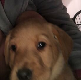 Male Apricot Pug Puppy In Canterbury Kent Gumtree