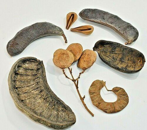 Antique Large Fossilized Raw  Petrified Wood Seeds Vintage Organics