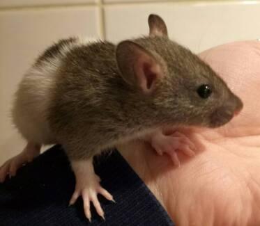 8 week old rats