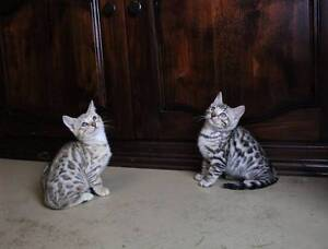 Silver Spotted Bengal kittens Penrith Penrith Area Preview