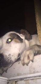 Loving home wanted for 2 yr old staffie