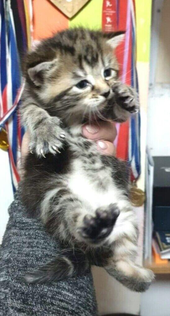 Tabbies Kittens Silver And Grey Striped In Woking Surrey Gumtree