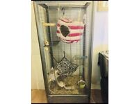Two Male chinchillas and cage