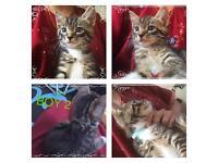 Kitten tabby / Russian blue