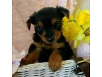 Pedigree Yorkshire terrier puppies 1 BOY LEFT!