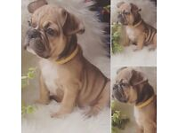 French Bulldog puppy Blue Fawn Boy (reduced price, negotiable)
