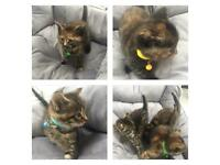 Tortoiseshell & tabby kittens for sale, father Maine coon X