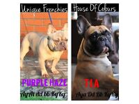 French bulldog puppies for sale choco and lilac makers