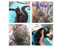 Kitten tabby / Russian blue mix breed