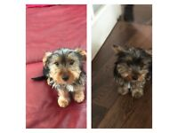2 male Yorkshire terrier puppies left