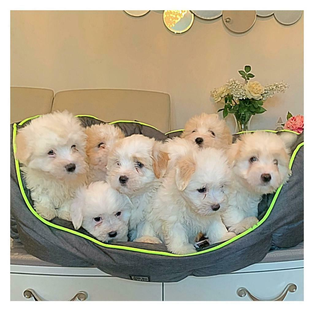 Gorgeous Cotton De Tulear Puppies In Bramhall Manchester Gumtree