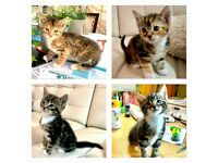 Beautiful kittens with Bengal mix