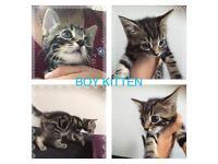 Kitten tabby/Russian blue mix breed