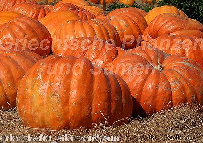 MAMMOTH Riesen-Speise-Kürbis bis 100 kg * 4 Samen XXL tolles Geschenk Halloween