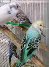 Baby budgies mixed colours, and pure chihuahua pups in store Shanes Park Blacktown Area Preview