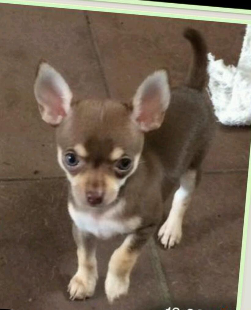 Chocolate brown boy chihuahua | in Larkhall, South