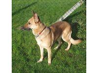 German Shepherd (Bitch)