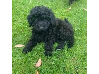 Last poochon boy for sale