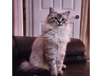 Ragdoll male cat.