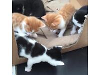 8 wks old kittens. 2 left. £175 each.