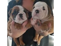 Kc Reg British Bulldog chunky pups