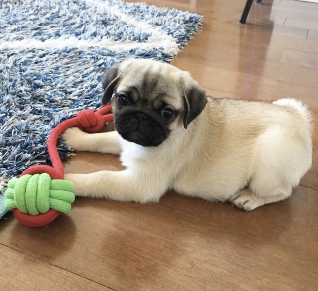 Pug puppies free to good home | Dogs & Puppies | Gumtree Australia